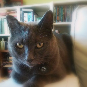 Gray cat sitting on a white couch with books in the background