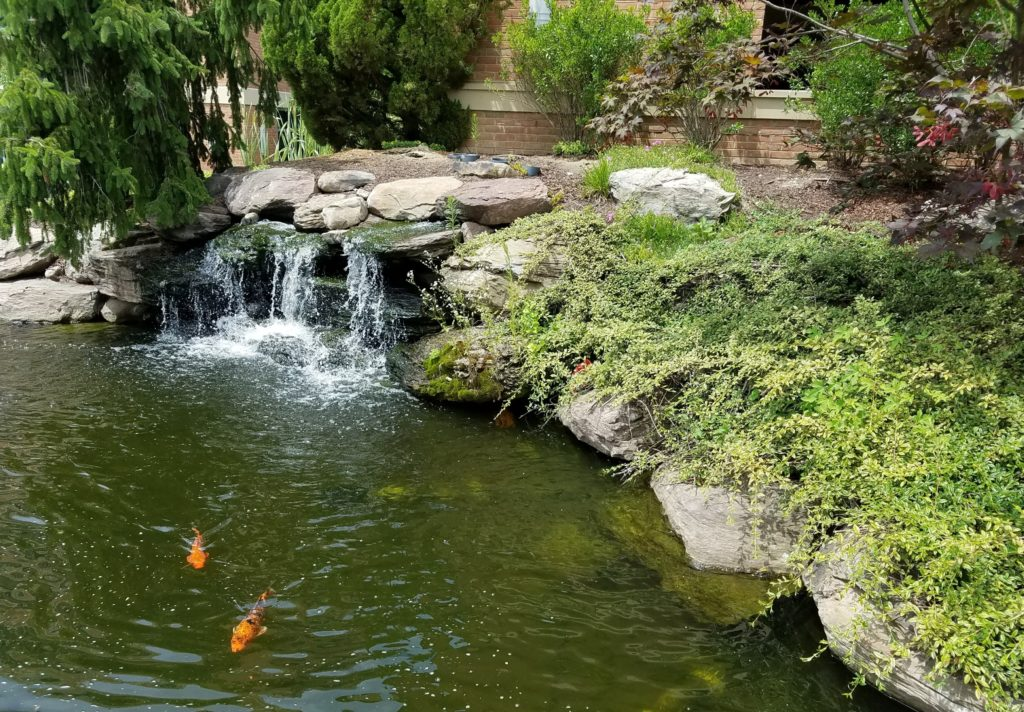small pond with waterfall and large goldfish